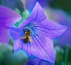 A Macro image of a honeybee inside a purple flower with dark blue veins.