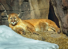 A color photo of a cougar laying down stretched out against a rock with snow on the foreground.