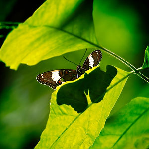 A color close up photograph of a butterfly with outstretched wings and it's suncast shadow on the leaf.