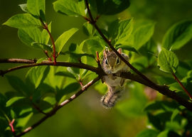 A baby squirrel hanging precariously from a tree branch.