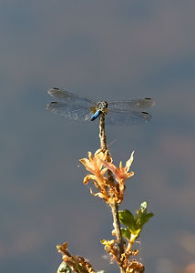 A Macro image of a blue dragonfly perched on the end of a branch that has yellow flowers