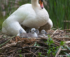 A mother swan in her nest perched over 5 newborn cygnet baby swans that are fluffy white and grey.