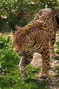 A color, close up photograph of a jaguar walking towards the viewer.