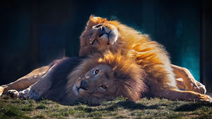 A color photo of two male lions laying on the ground facing the camera with one lion's head on the other's back as they rest.