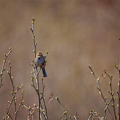 Perching brown bird on blossoming branch