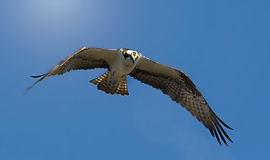 An Osprey in flight against a blue sky with a sun flare from the top left.