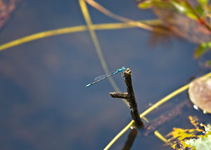 A Macro image of a thin blue dragonfly perched on the end of a branch that is protruding from a lake