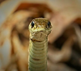 A macro, close up image of a snake staring straight ahead.