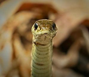 Snake Profile #1.jpg