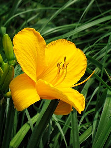 A Yellow Daylily in a field of long green grass.