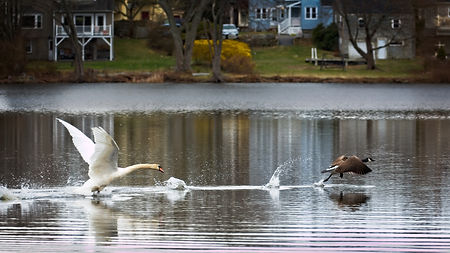 A color photograph of a large male swan chasing a Canada Goose off a lake as they both leave the water