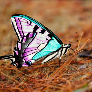 A macro close up photo of a butterfly that is the color of the Trans Pride Flag: blue, white, and pink.