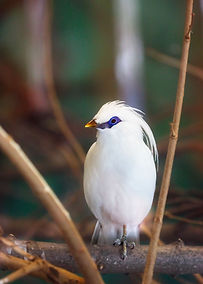 A color, close up photo of a Bali Mynah bird which is all white except for striking blue coloring around its eyes, sitting on a branch staring at the camera.