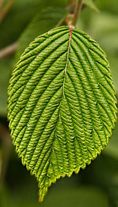 A Macro image of a green leaf with high detail ribs