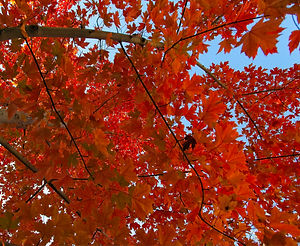 Looking up through a canopy of orange autum leaves and branches in Fall