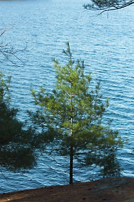 A picture of a pine tree on the edge of a lake with a beam of sunlight streaking across it.