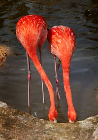 A color, close up photo of two Caribbean Flamingos standing side by side in a pond, both drinking water.