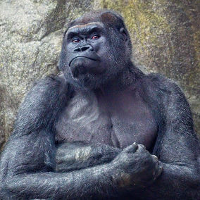 A close up color photo of a Western Lowland Gorilla's upper body as he stairs at the camera with his arms crossed.