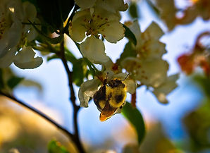 A Macro image of a bumblebee on a white dogwood flower in a tree