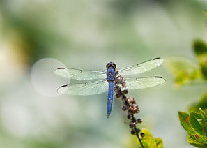 A Macro image of a blue dragonfly from behind perched on the end of a branch.