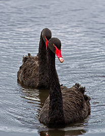 Two Black Swans swimming towards the viewer on a lake.