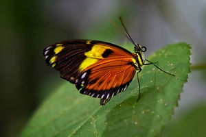 A Macro/close up shot of a butterfly with red and yellow wings, with white dots sitting on a green leaf.