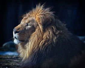 A color photo of a male African Lion laying down, head in profile.