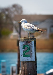 A color photograph of a seagull perched on a harbor pylon.