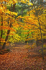 A path through the woods in Autumn with the leaves on the trees in yellow and the path covered in brown fallen leaves as the sun shines through.