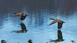 A color photograph of two Canadian Geese in flight low over a still lake that is reflecting their image.