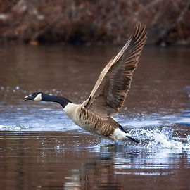 A color photograph of a Canada Goose with outstretched wings about to take off from a lake