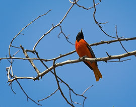 An orange Oriole perched on a tree branch.
