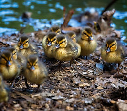 A group of baby ducklings waddling towards the viewer coming out of a lake.