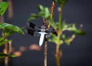 A Macro image of a white dragonfly with double clear & black wings, perched on the end of a stick.