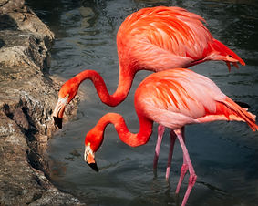 A color, close up photo of two Caribbean Flamingos standing in a pond looking at the camera.