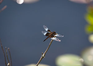 A Macro image of a black and brown dragonfly perched on the end of a stick near a lake