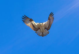 An Osprey in flight against a blue sky with a sun flare from the top right.