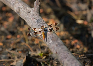 A Macro image of a brown, double-winged dragonfly sitting on a tree branch