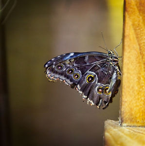 A macro/close up photo image of a blue/grey butterfly with yellow and black spots resting on the arm of a park bench.