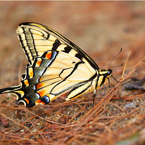 A Macro image of an Eastern Swallotail Butterfly on the ground.