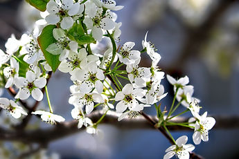 Close up of white Dogwood Tree flower blossoms on a branch