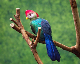 A color, close up photo of a Red-crested Turaco bird sitting on a branch looking at the camera.