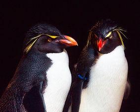 A close up photo of two Rockhopper Penguins