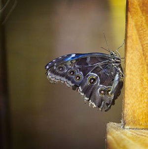 Close up of Blue and Grey Butterfly resting on a bench post