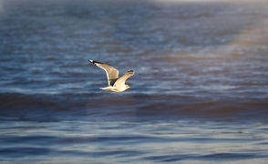 A picture of a single white seagull in flight towards the sun over a dark blue ocean with a wave forming below and a sun flare coming from the top right side