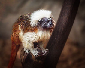 A color, close up photo of a Cotton-top Tamarin Monkey sitting on a branch