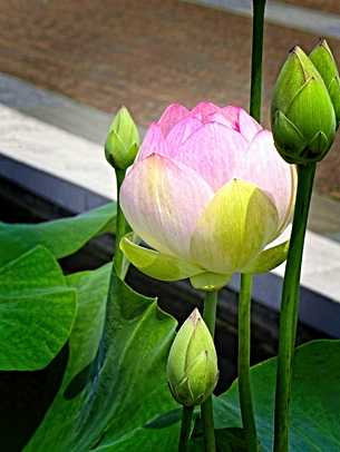 Pink Waterlily Cards
