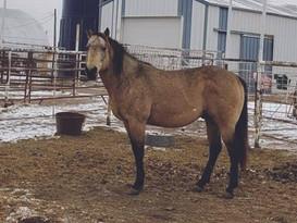 52 - SWEET IRON HUDSON - BH Quarter Horses - PIC.jpeg