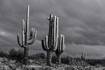 Frosted Saguaro