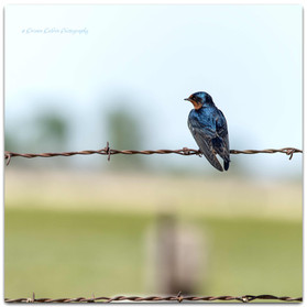 Barn Swallow at Rest